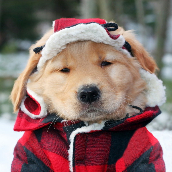 A small Golden Retriever puppy with a winter flannel jacket and hat.