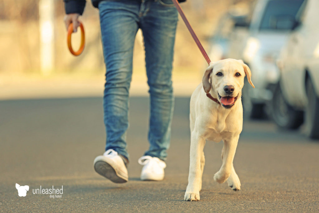 Man walking a young yellow lab dog on a leash around his neighborhood.